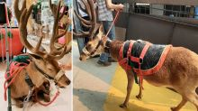 Shopping centre slammed over chained up 'reindeer' at Christmas event