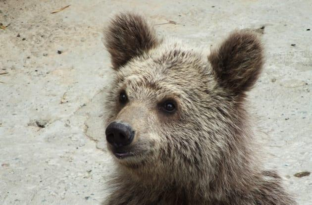 Researchers suggest 'yeti' found last year is just a brown bear