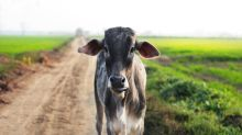'Mad' Cow on runway causes havoc at Indian airport