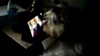 Dog watches TV to distract himself from stormy weather