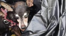 Blind miniature pinscher found tied up in black rubbish bag and abandoned in Ipoh dumpsite