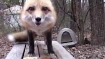 Happy Fox Enjoys Thanksgiving Feast