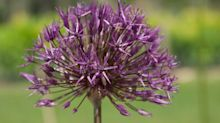 10 of the best: top-performing alliums for late spring colour