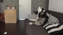 Husky's reaction to squeaky toy will have you singing along