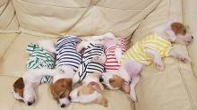 Puppies wearing pajamas take nap together
