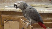 Einstein the talking parrot just loves to sing and dance