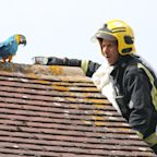 Parrot Stuck on Roof for Three Days Greets Rescuer with a Tirade of Curse Words