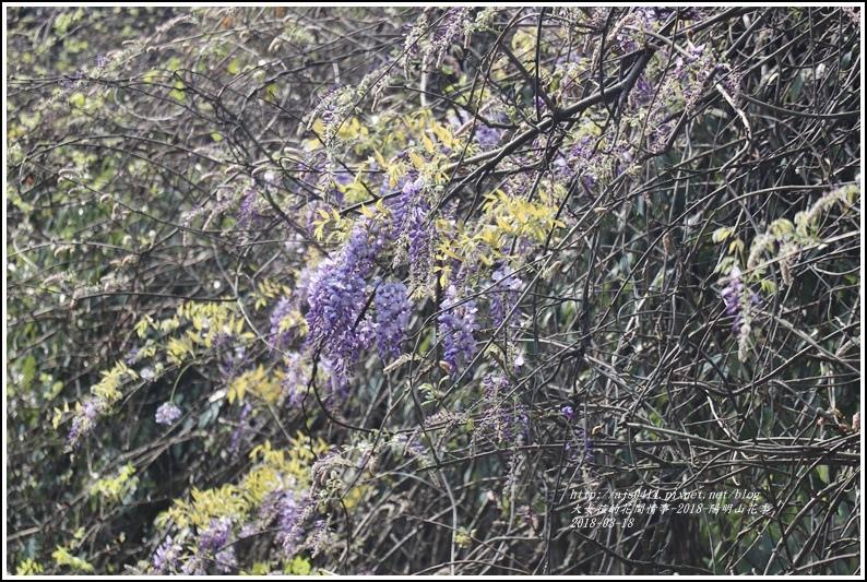陽明山櫻花季(紫藤)-2018-03-08.jpg