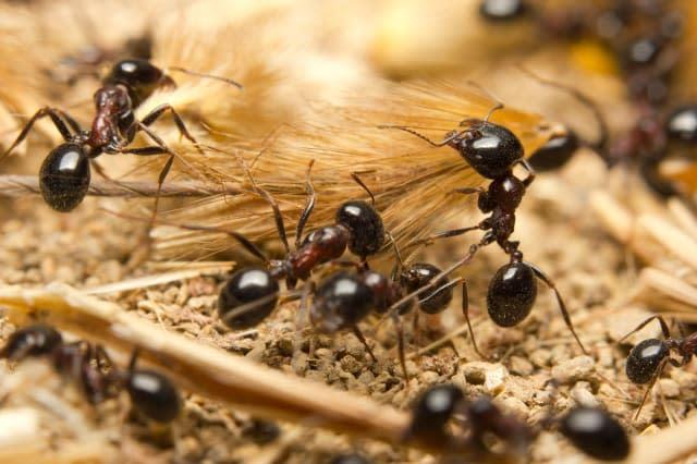 Macro of Black worker ants