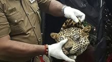 Sri Lanka arrests three accused of killing leopard for asthma cure