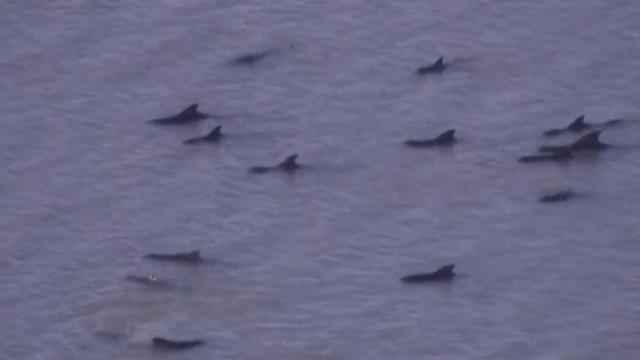 Beached whales struggle to survive in Fla. Everglades