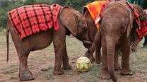 Cute Baby Elephants Play Football With Keepers In Orphanage