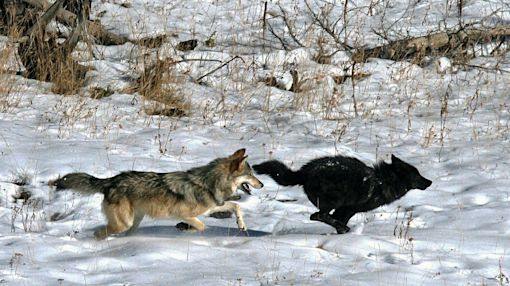 North America Has Only 1 True Species of Wolf, DNA Shows