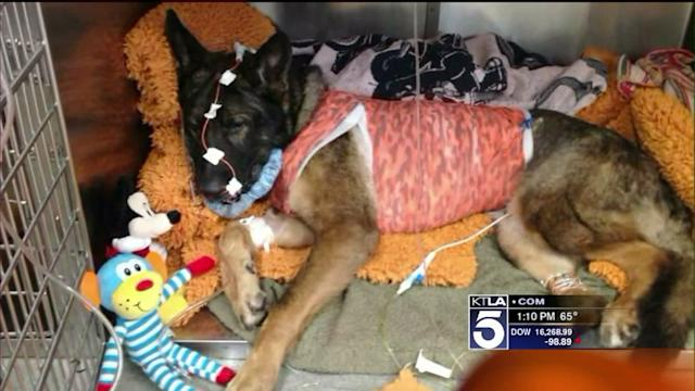 Bruno, Wounded Anaheim Police Dog, Hailed as Hero