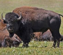 Grand Canyon wanted a dozen volunteers to kill bison in the park. Over 45,000 applied