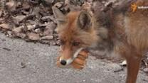 Fox in Abandoned Chernobyl Exclusion Zone Makes a Sandwich