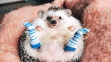Mr. Pokee the traveling hedgehog is taking the internet by storm