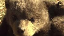 Raw: Activists Rescue 3 Bear Cubs in Kosovo