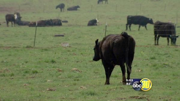 Lack of rain impacting Valley cattle ranchers