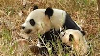 Caring mother panda snuggles with her cub