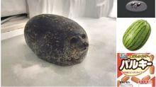 【撞樣】大阪「海遊館」發現超圓海豹 網民出圖回應
