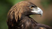 Águila real, una especie amenazada