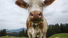 Un cas de vache folle détecté dans une ferme écossaise