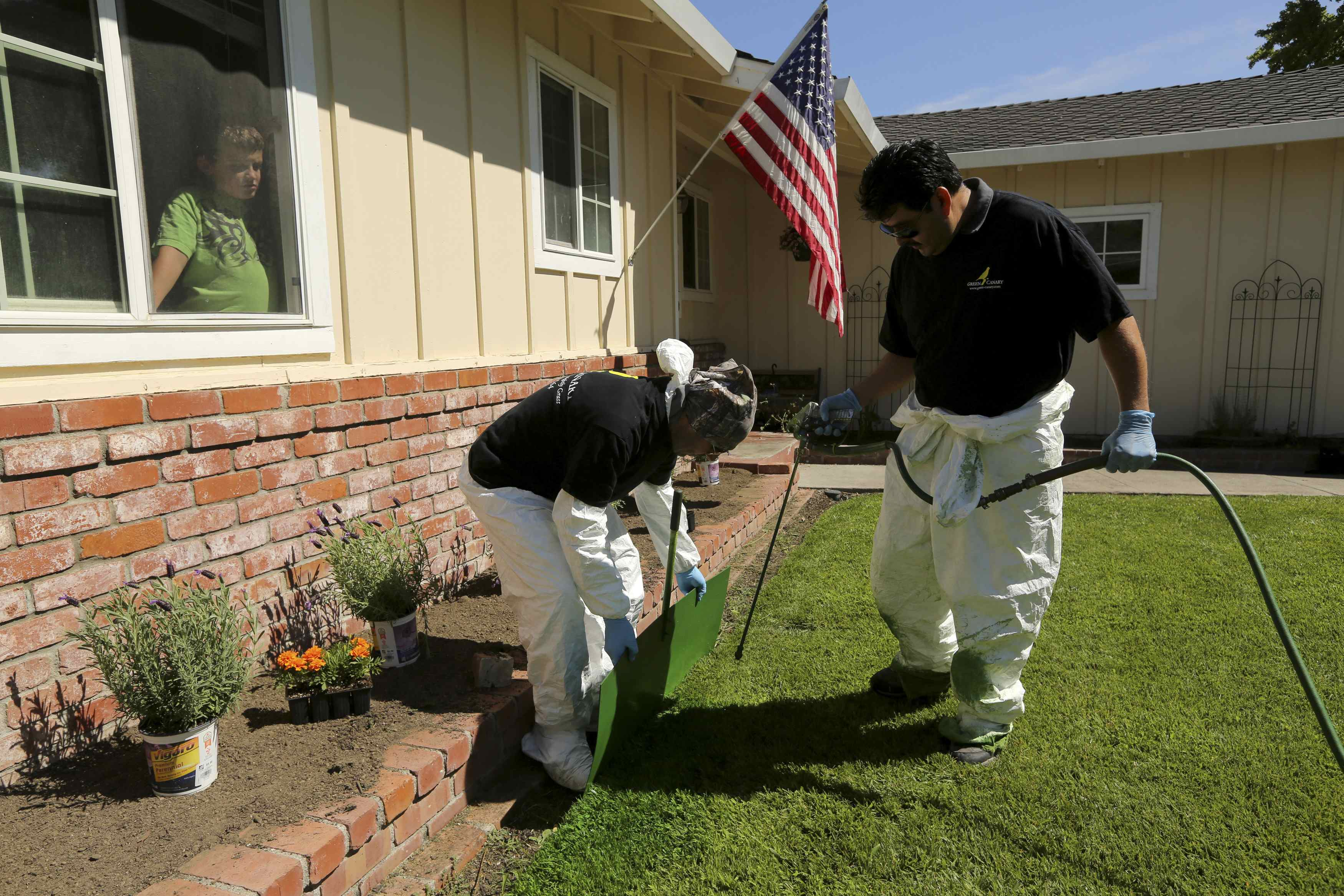 Colby Feece (L) looks out the window of his home as workers with Green Canary apply a diluted concentrate of aqueous pigment to the front lawn of his home in San Jose, California July 24, 2014. The company said it uses the coloring application to improve property value, conserve water, and reduce maintenance costs. REUTERS/Robert Galbraith (UNITED STATES - Tags: ENVIRONMENT)