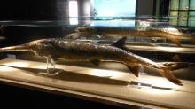 La primera especie declarada extinta en 2020: un pez que había logrado sobrevivir millones de años