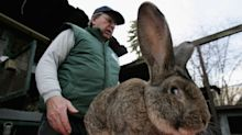 United Airlines denies staff accidentally froze Simon the giant rabbit