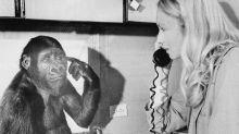 """Addio a Koko, la gorilla che """"parlava"""""""