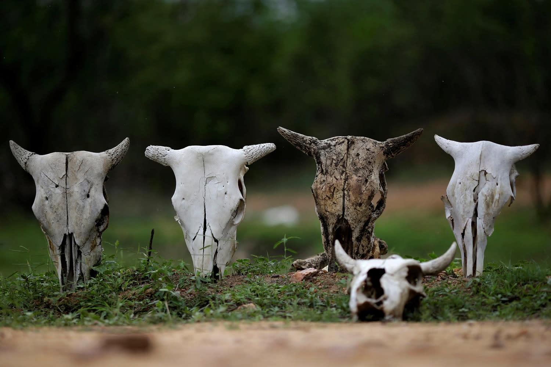 <p>Skulls of cattle are shown in Coremas, Paraiba state, Brazil, Feb. 11, 2017. (Photo: Ueslei Marcelino/Reuters) </p>