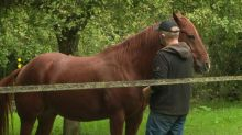 Face aux mutilations de chevaux, des éleveurs s'organisent