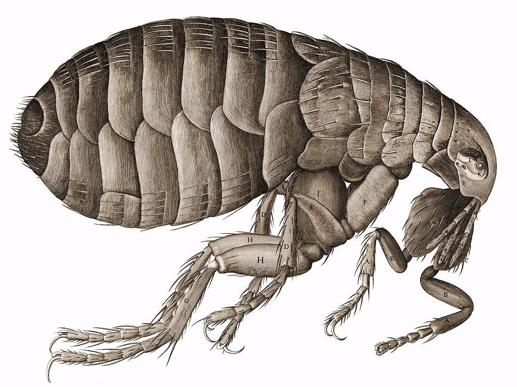 Boy in America contracts bubonic plague
