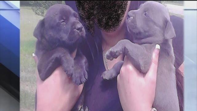 Six-week-old pit bull puppies stolen from Thonotosassa front yard in broad daylight