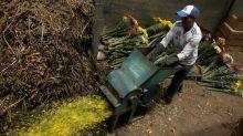 Agricultores de Costa Rica destruyen sus flores tras suspensión de exportaciones por coronavirus