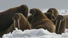 Activist urges walrus rafts in absence of Arctic sea ice