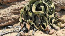 A Plant That 'Cannot Die' Reveals Its Genetic Secrets