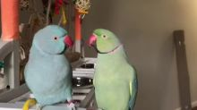Parrots talk to each other in English