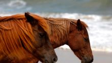 Man rides wild horse at Assateague. He could spend 6 months in jail, officials say