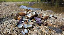 Could 'mussel-bola' explain the mass die-offs of freshwater mussels?