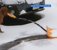 Dog helps his owner shovel snow like a pro in Boston area