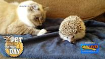 Adorable! Cat Meets Hedgehog