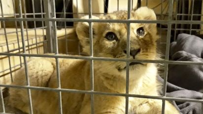 Paris police pull over Lamborghini, find lion cub in backseat