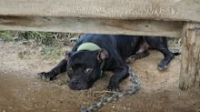 Over 1,000 Animals Rescued From 1 Property In Massive Dog, Cockfighting Bust