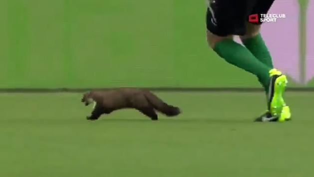 Weasel invades football pitch