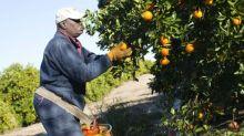 Orange juice prices jump as Irma approaches Florida