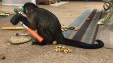 Extremely intelligent monkey uses mallet to crack nuts