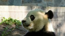Giant panda Bei Bei, soon to go bye-bye, turns four in US