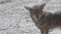 Coyote attacks 2-year-old girl at Cypress cemetery